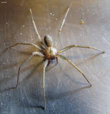 Brown Recluse Map Six Eyed Danger Brown Recluse Spider This Picture Is For U2026 Flickr