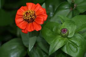 zinnia flowers zinnia yukon gardens