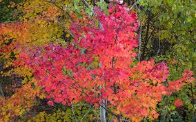 algonquin fall colour savoury image