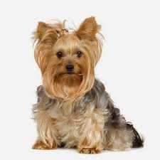 types of yorkie haircuts pictures yorkie hairstyles for your cute dogs cute hair style