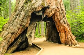 california u0027s iconic u0027tunnel tree u0027 collapses due to winter weather