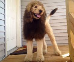 lion dogs dog like lion sets panic 911 calls in virginia the