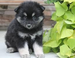 belgian shepherd gumtree pomsky i want that puppy pinterest pomsky and pomsky puppies