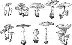 mushroom vector drawing engraving illustration set collection ink