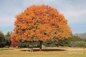 colourful tree with fall colored foliage photograph by nicholas