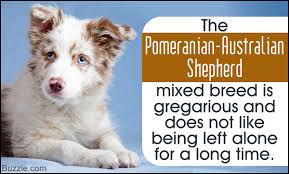 australian shepherd and beagle mix complete information about pomeranian australian shepherd mix