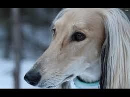 owning an afghan hound aggressive dog or pet afghan hound youtube