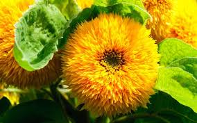 teddy sunflowers the year of the sunflower meet the new varieties and colours