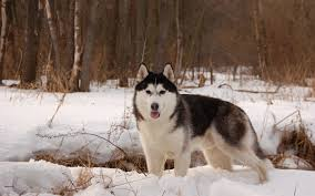husky in the snow full hd wallpaper and background 2880x1800
