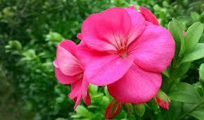 free photo pink flower pink beautiful flower free image on