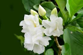 Gardenias by The Little Guide On How To Grow Gardenias