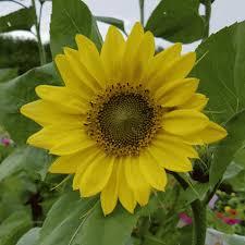 helianthus annuus sunflower u0027lemon queen u0027 wildflower seeds