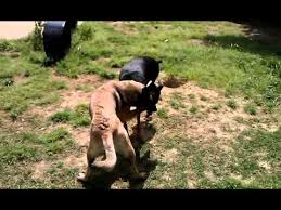 belgian shepherd vs doberman doberman gets owned by belgian malinois youtube