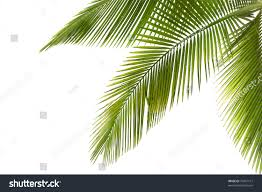 part palm tree on white background stock photo 79431151 shutterstock