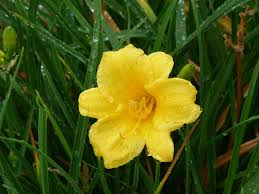 Stella Daylily Yellow Flowers Pictures For Garden Inspiration