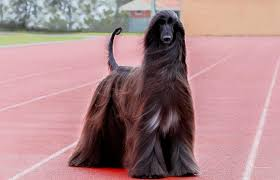afghan hound owner reviews is afghan hound tea the world u0027s most photogenic dog newsline