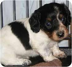 boxer dog utah dachshund puppies adopted puppy provo ut dachshund