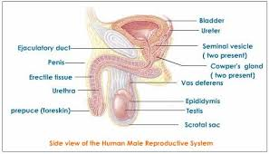 Female Anatomy Diagram For Kids Male Reproductive System Explained With Diagrams Tutorvista Com