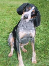 bluetick coonhound drool my granddaddy u0027s blue tick hound old blue could tree a squirrel