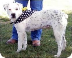 australian shepherd dalmatian mix jade adopted dog turlock ca dalmatian australian cattle dog mix
