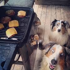 australian shepherd dog food are they ready yet sheesh what u0027s a dog gotta do to get food