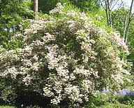 Top Flowering Shrubs - best performing hardy shrubs for northern and midwest gardens