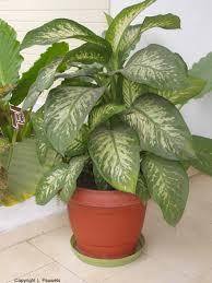 indoor houseplants poisonous be sure to visit gardenanswers com