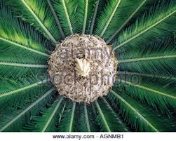 cycas king sago palm flower opening up a common