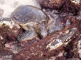 sea turtles ocean watch