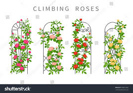 vector flat illustration climbing roses on stock vector 638813656