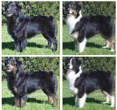 australian shepherd vs english shepherd shalako australian shepherd illustrated breed standard color