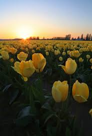 Skagit Valley Tulip Festival Bloom Map Skagit Valley Tulip Photo Tours North Western Images Photos By