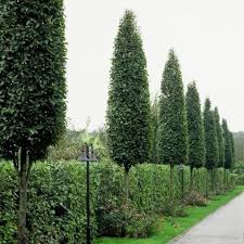 frans fontaine european hornbeam excellent tree for narrow areas