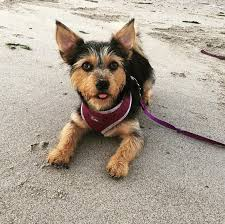 lifespan of australian shepherd australian terrier dog breed information pictures