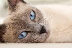 in the beginning the origins of 9 cat breeds mental floss