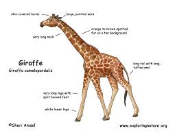 giraffe color diagram150 jpg