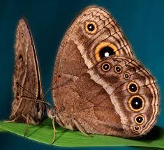 butterflies prefer flashier mates