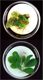 agriculture for impact recombinant dna