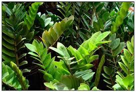 zamioculcas zz plant aroid plant philippine medicinal herbs