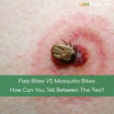 flea bites vs mosquito bites how can you tell between the two