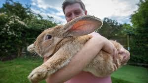 three foot long bunny set to become world u0027s biggest rabbit aol