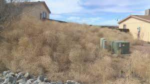 Tumbleweed Tumbleweed Takeover Worries Neighbors Krqe News 13