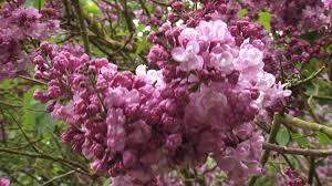 Fragrant Flowers Lilac Syringa Vulgaris Paul Deschanel A Spreading Shrub With