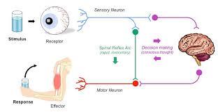 Describe A Reflex Action Reflex Arcs Bioninja