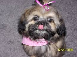 pictures of shih tzu haircuts cute pictures