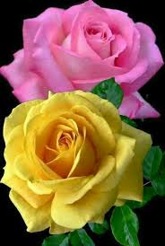 143 best roses all the way images on pinterest beautiful