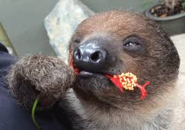 Angry Sloth Meme - nom nom nom nom gifs get the best gif on giphy