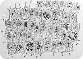 mitosis and cytokinesis ck 12 foundation