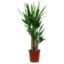 plante d駱olluante bureau yucca 2 troncs 80 cm yucca elephantipes une plante d intérieur