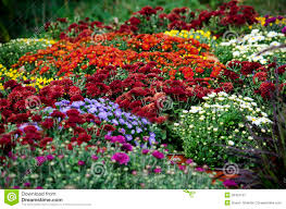 display fall mums stock image image 36452121